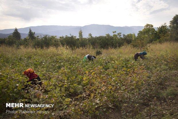 1200 تن پنبه از مزارع آران و بیدگل برداشت شد