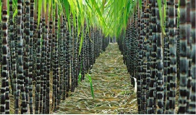 غلبه بر چالش های پایش مزارع نیشکر با فناوری سنجش از دور